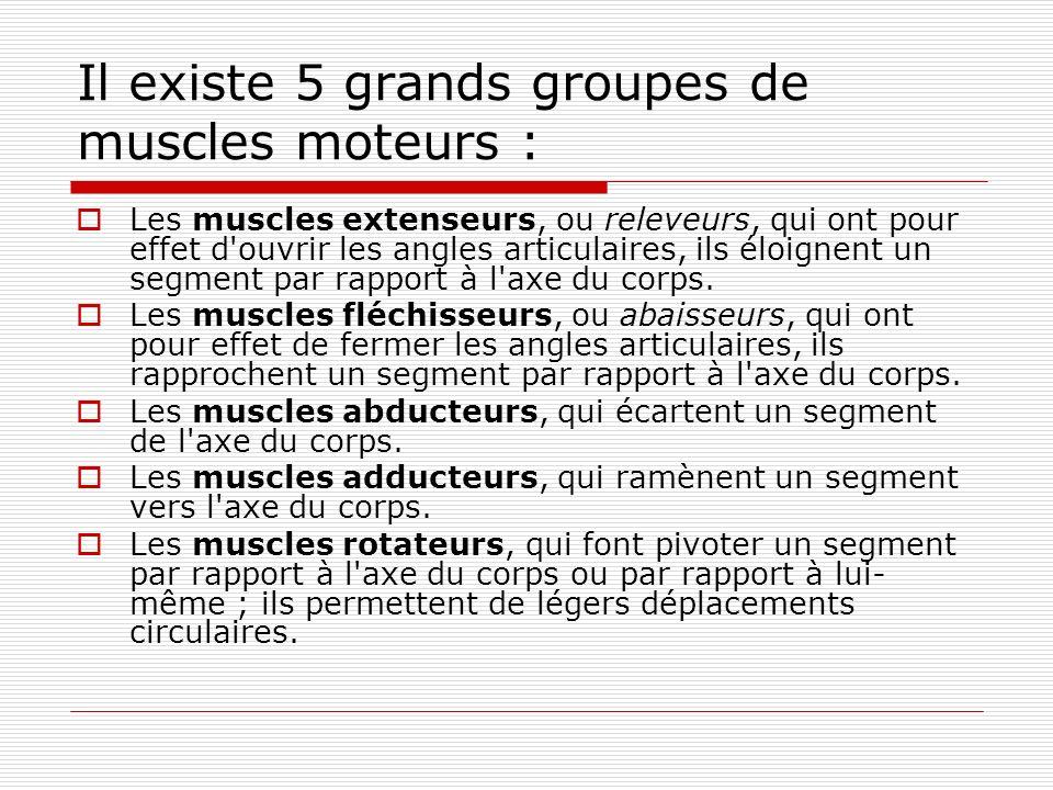 Il existe 5 grands groupes de muscles moteurs :