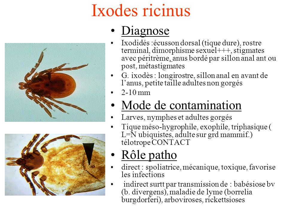 Ixodes ricinus Diagnose Mode de contamination Rôle patho