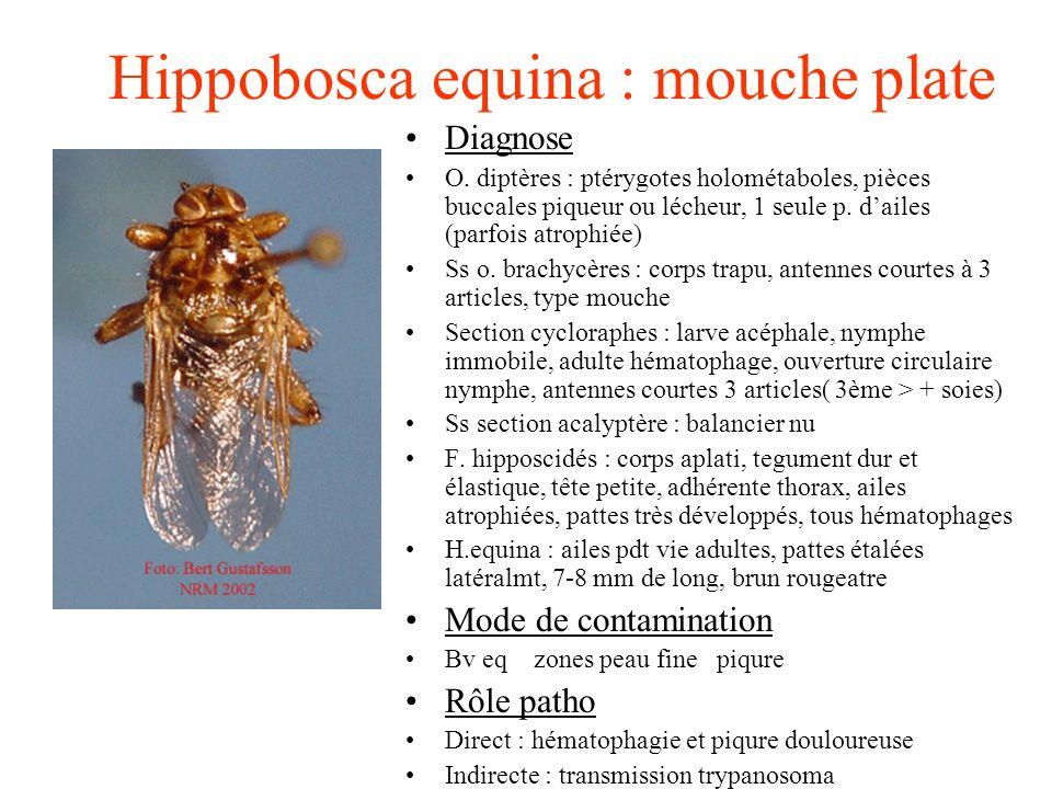 Hippobosca equina : mouche plate