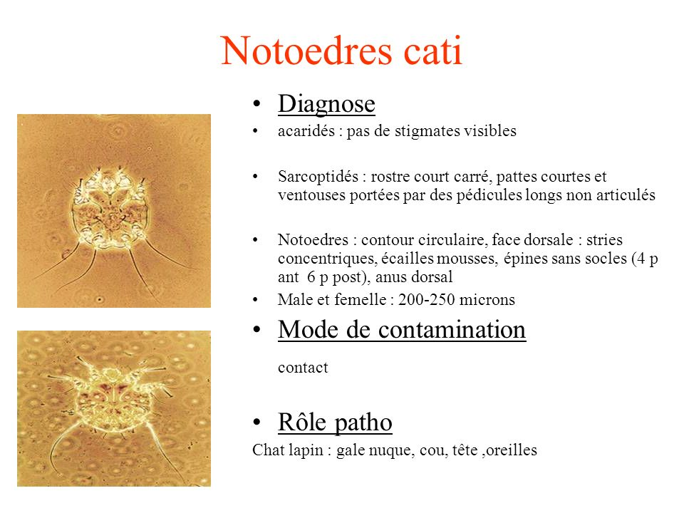 Notoedres cati Diagnose Mode de contamination contact Rôle patho