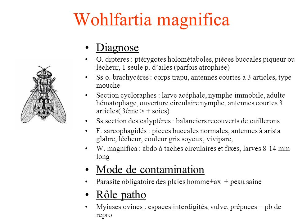 Wohlfartia magnifica Diagnose Mode de contamination Rôle patho