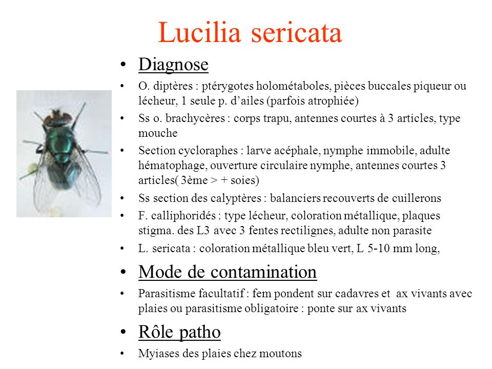 Lucilia sericata Diagnose Mode de contamination Rôle patho