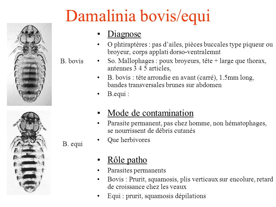 Damalinia bovis/equi Diagnose Mode de contamination Rôle patho