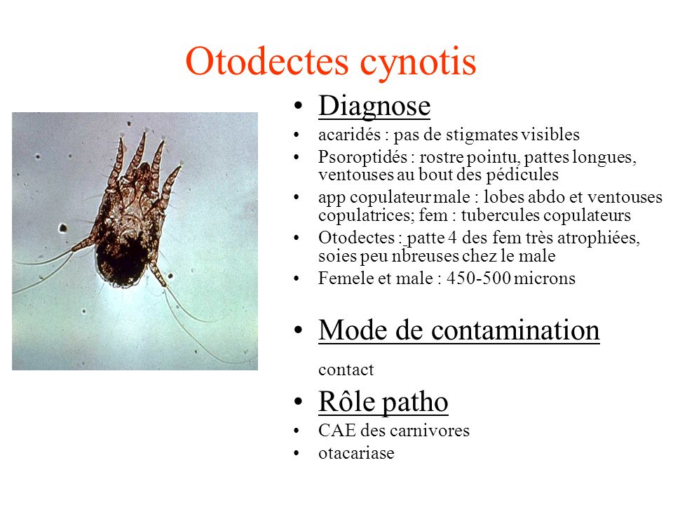 Otodectes cynotis Diagnose Mode de contamination contact Rôle patho