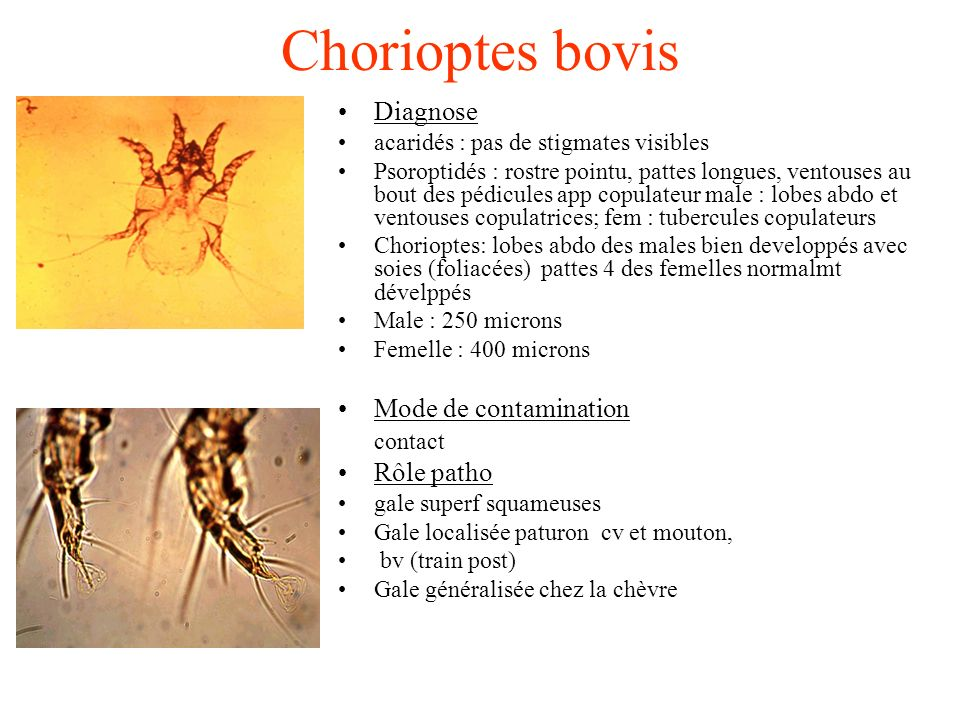 Chorioptes bovis Diagnose Mode de contamination contact Rôle patho