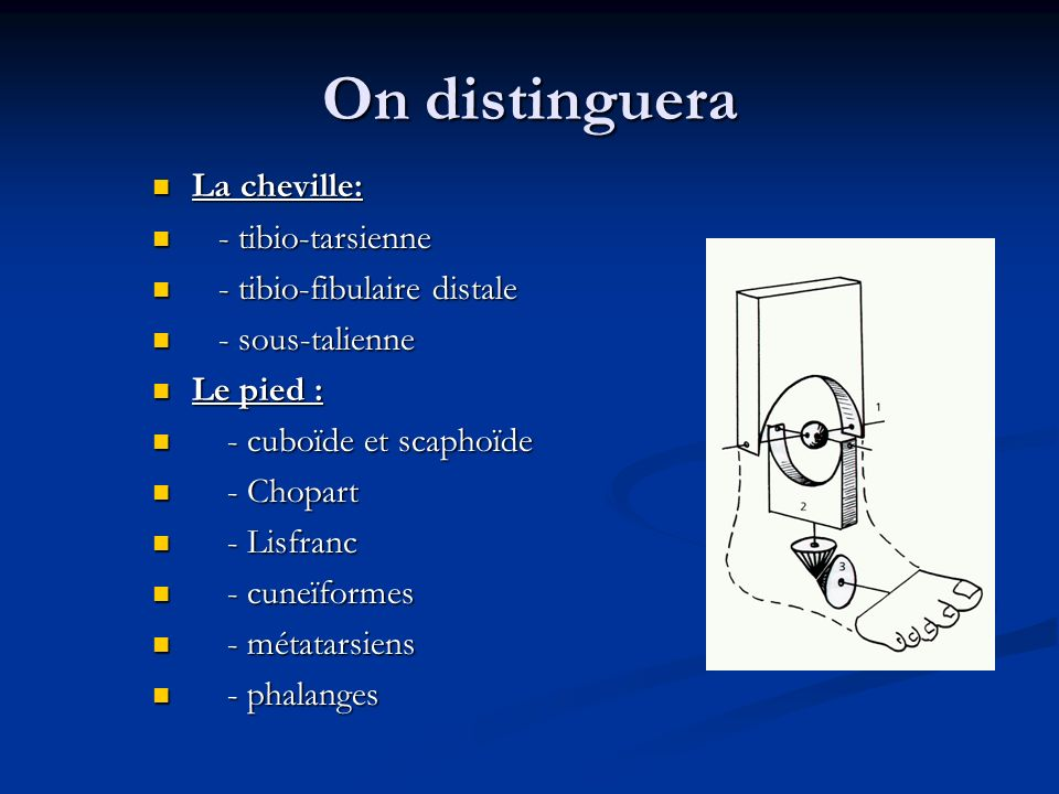 On distinguera La cheville: - tibio-tarsienne