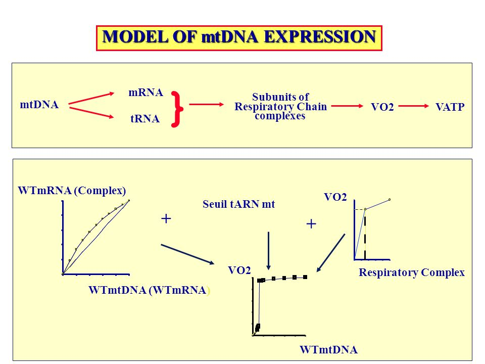 MODEL OF mtDNA EXPRESSION