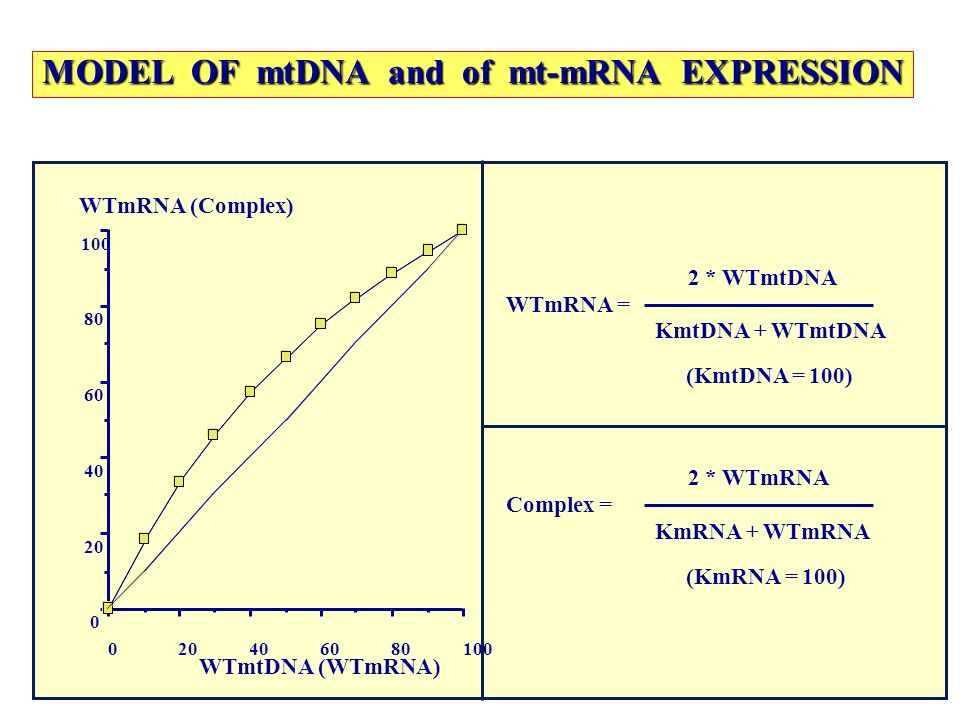 MODEL OF mtDNA and of mt-mRNA EXPRESSION
