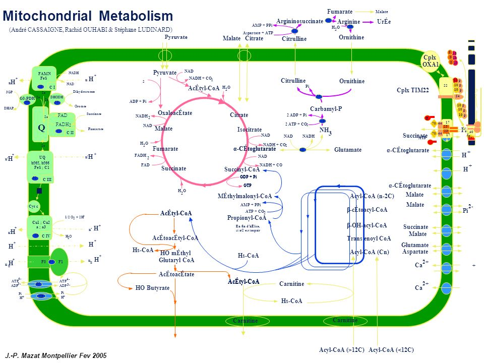 Mitochondrial Metabolism