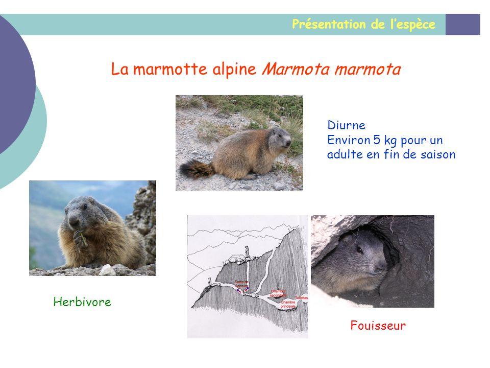 La marmotte alpine Marmota marmota