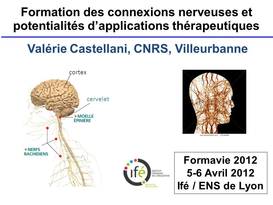 Formation des connexions nerveuses et