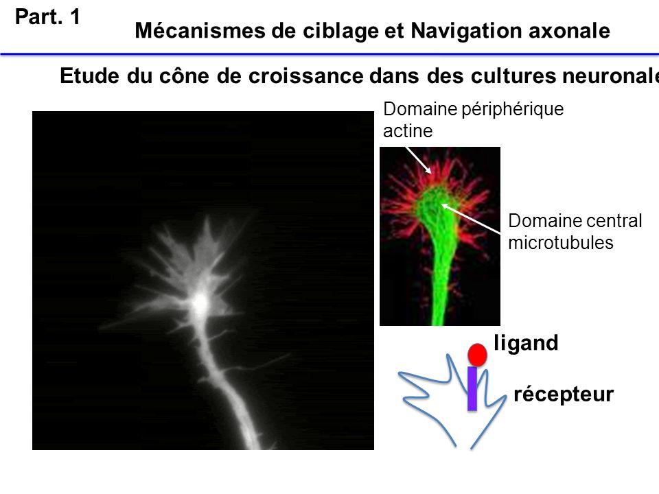 Mécanismes de ciblage et Navigation axonale