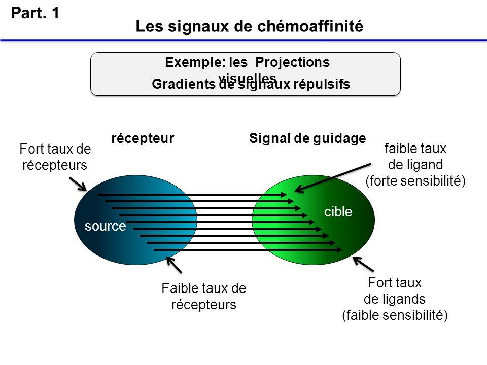 Les signaux de chémoaffinité