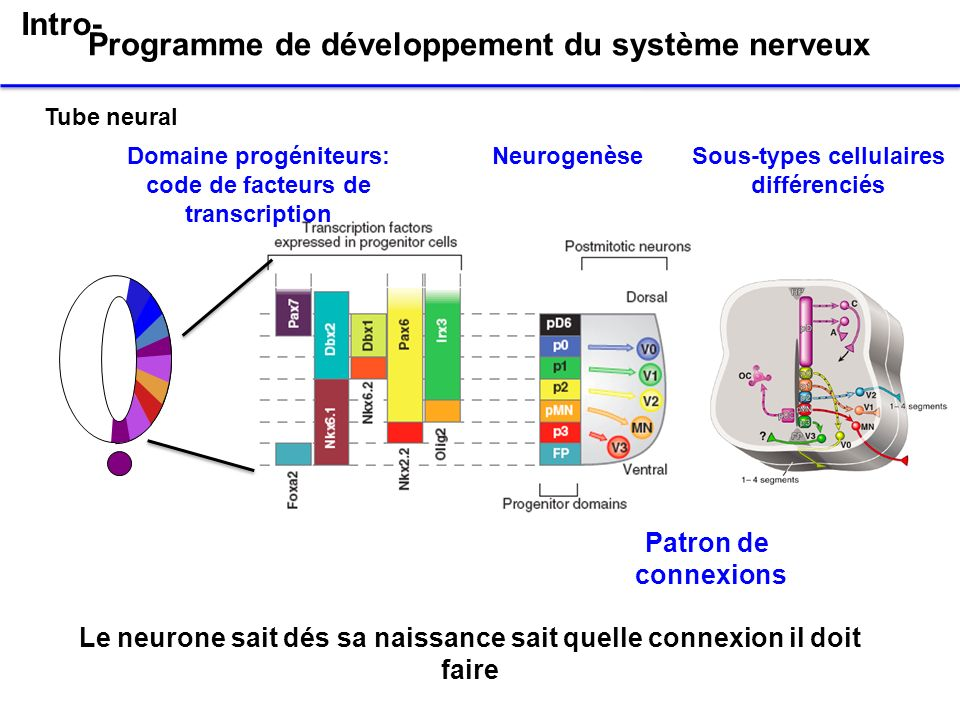 Programme de développement du système nerveux