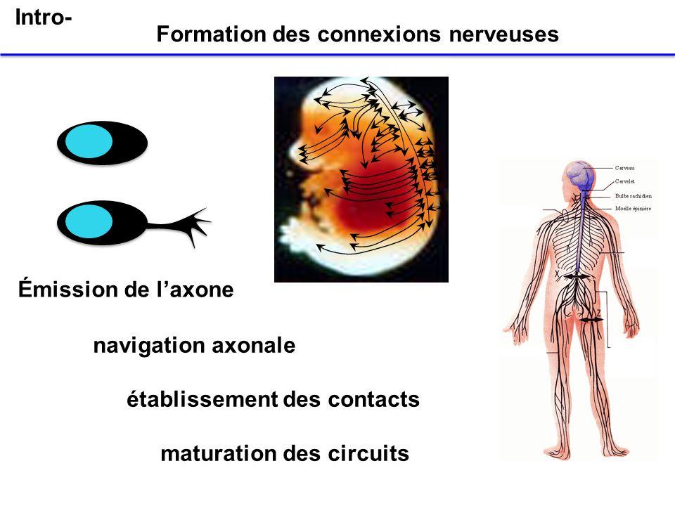 Formation des connexions nerveuses
