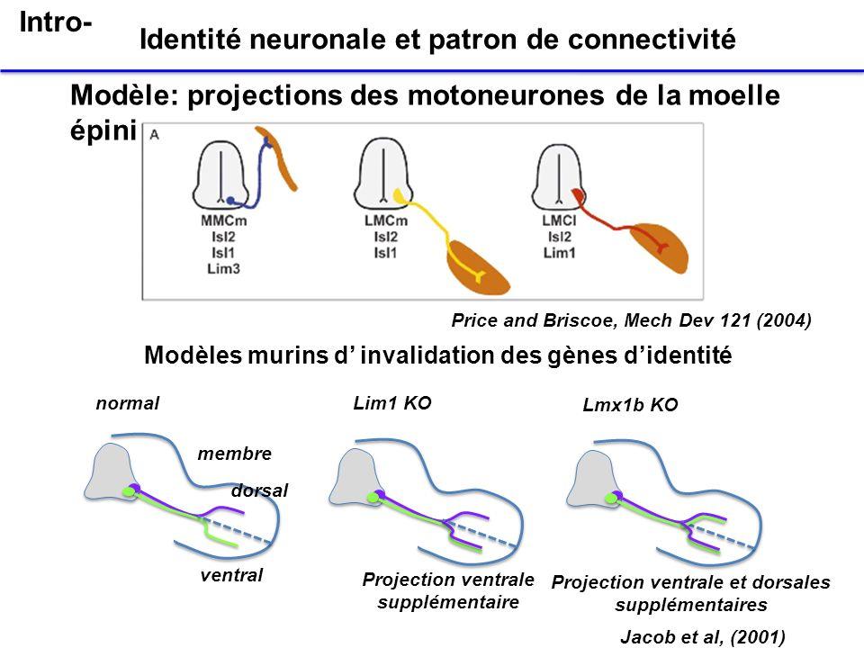 Identité neuronale et patron de connectivité