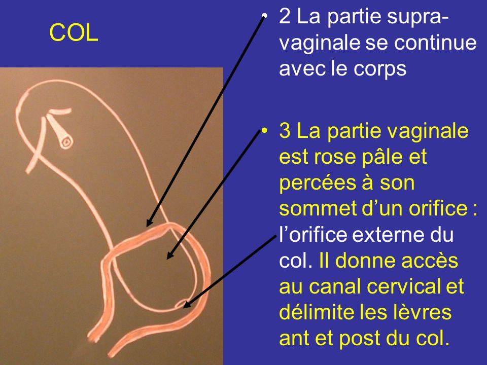COL 2 La partie supra-vaginale se continue avec le corps