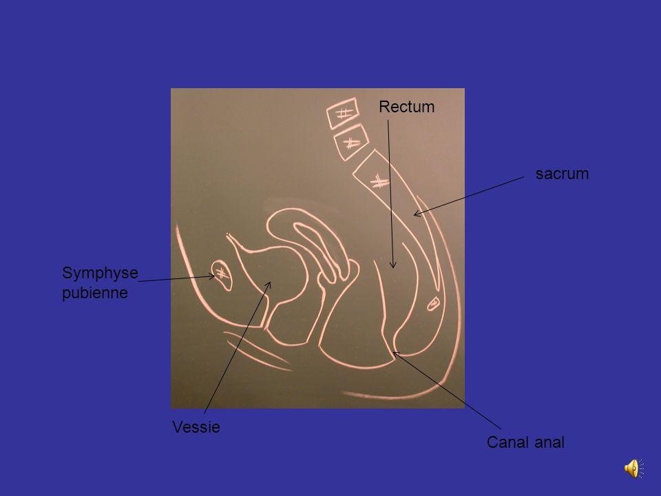 Rectum sacrum Symphyse pubienne Vessie Canal anal
