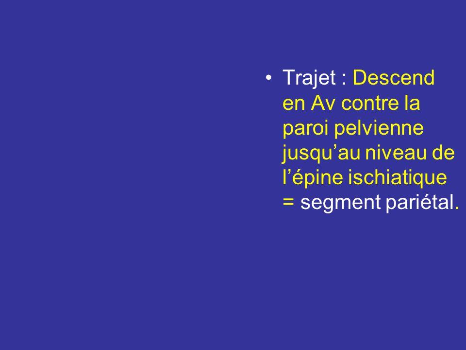 Trajet : Descend en Av contre la paroi pelvienne jusqu'au niveau de l'épine ischiatique = segment pariétal.
