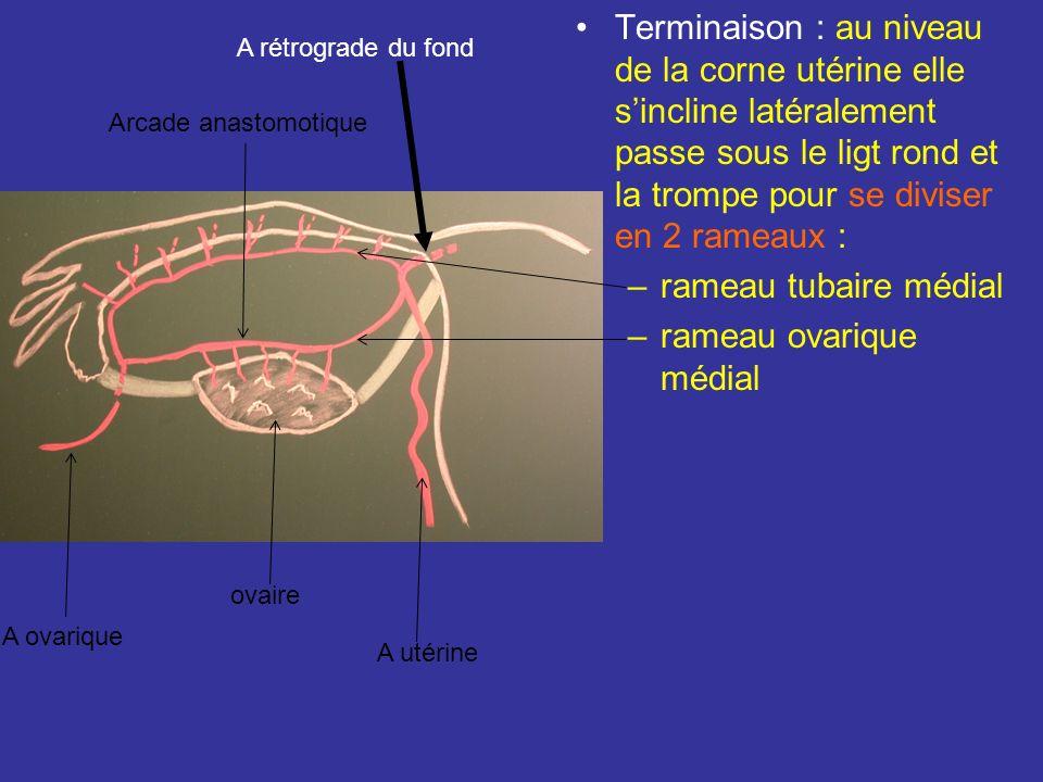 rameau ovarique médial