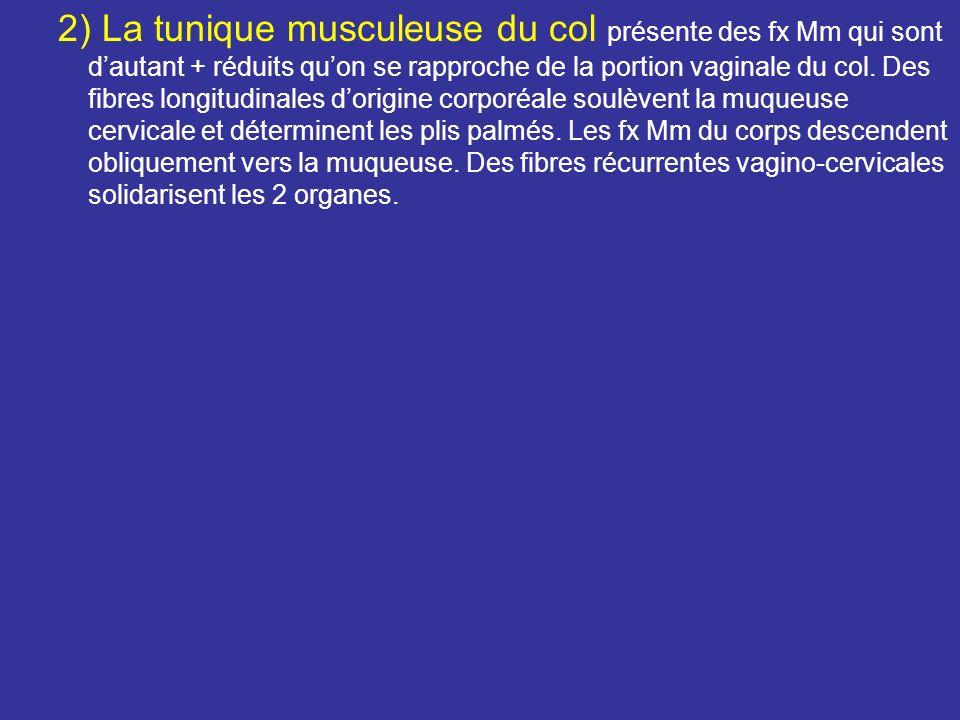 2) La tunique musculeuse du col présente des fx Mm qui sont d'autant + réduits qu'on se rapproche de la portion vaginale du col.