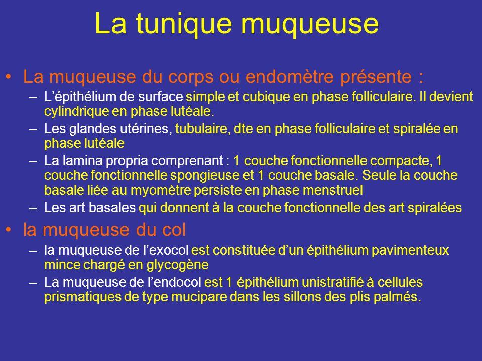 La tunique muqueuse La muqueuse du corps ou endomètre présente :