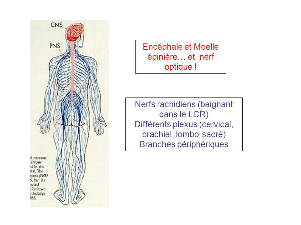 Encéphale et Moelle épinière… et nerf optique !