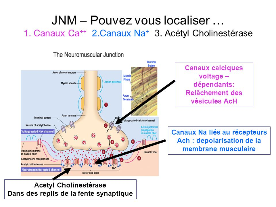 JNM – Pouvez vous localiser … 1. Canaux Ca++ 2. Canaux Na+ 3