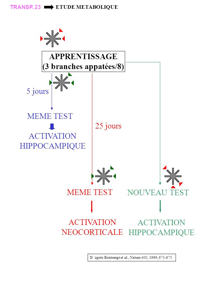 ACTIVATION NEOCORTICALE