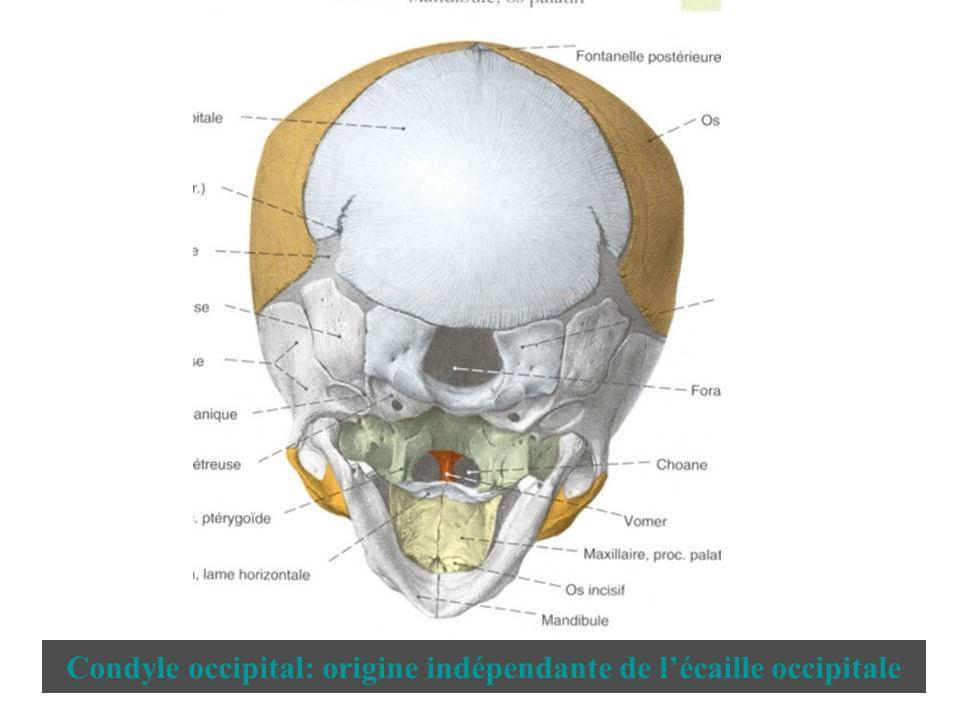 Condyle occipital: origine indépendante de l'écaille occipitale