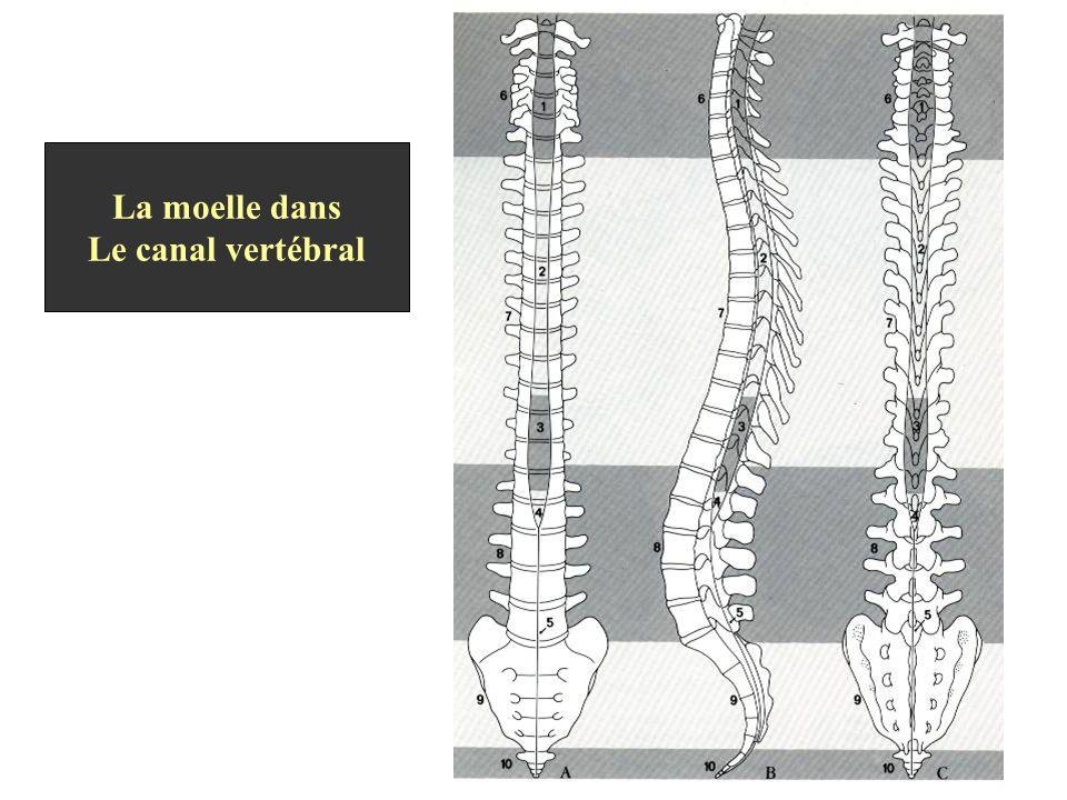 La moelle dans Le canal vertébral