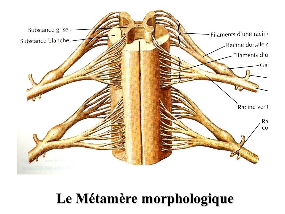 Le Métamère morphologique