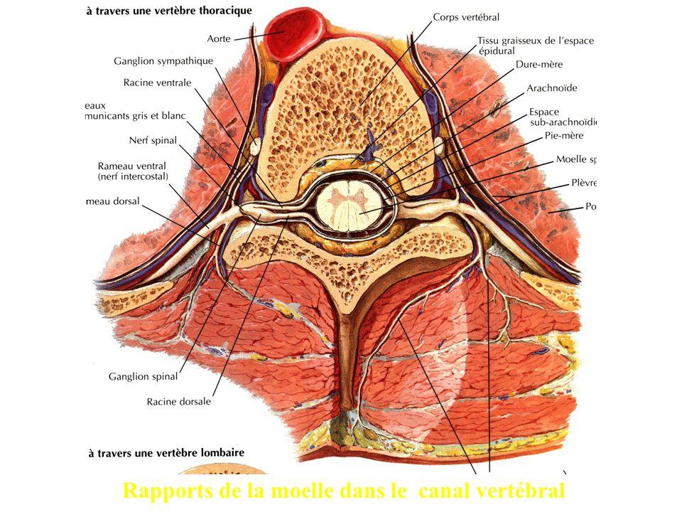 Rapports de la moelle dans le canal vertébral