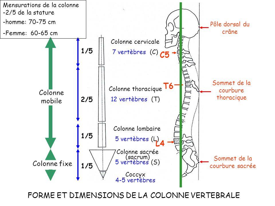 FORME ET DIMENSIONS DE LA COLONNE VERTEBRALE
