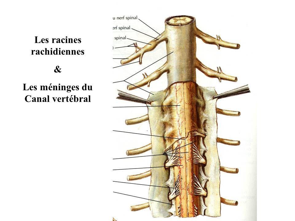Les racines rachidiennes Les méninges du Canal vertébral