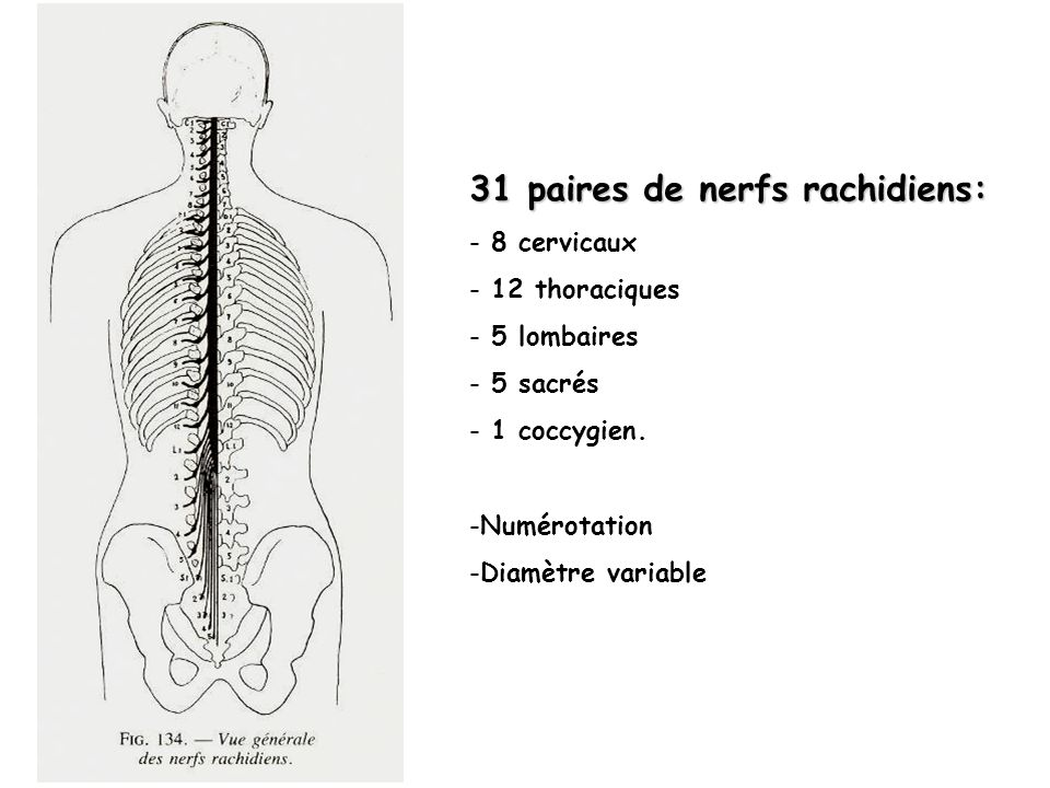 31 paires de nerfs rachidiens:
