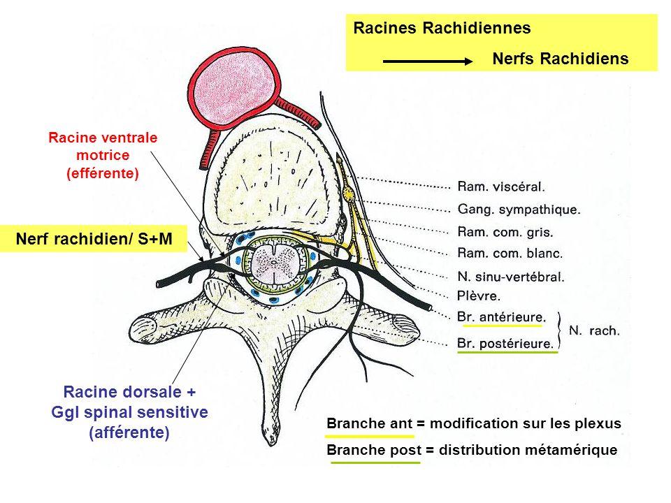 Nerf rachidien/ S+M Racine dorsale + Ggl spinal sensitive (afférente)