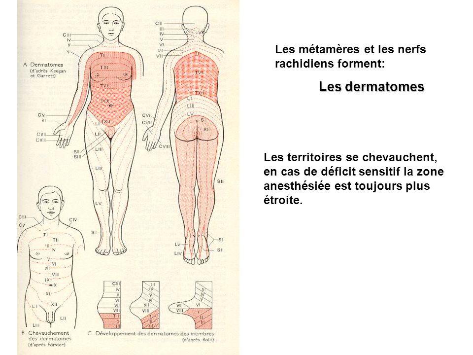 Les dermatomes Les métamères et les nerfs rachidiens forment: