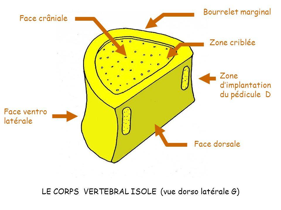 LE CORPS VERTEBRAL ISOLE (vue dorso latérale G)