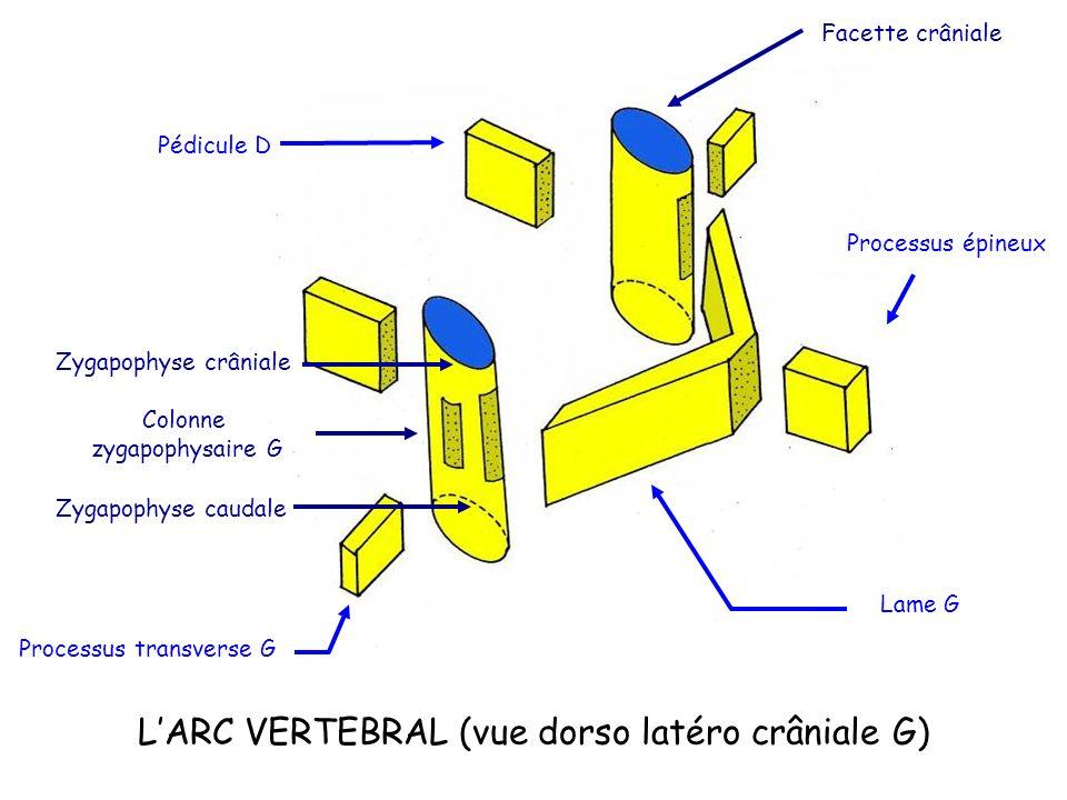 L'ARC VERTEBRAL (vue dorso latéro crâniale G)