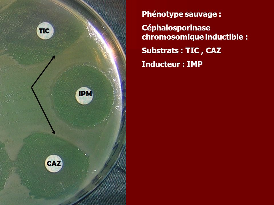 Phénotype sauvage : Céphalosporinase chromosomique inductible : Substrats : TIC , CAZ.