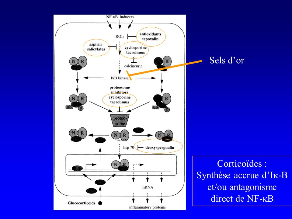 Synthèse accrue d'Ik-B et/ou antagonisme direct de NF-kB