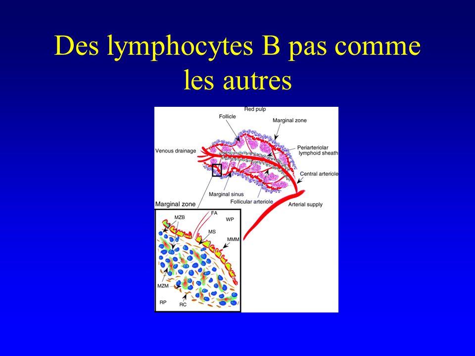 Des lymphocytes B pas comme les autres