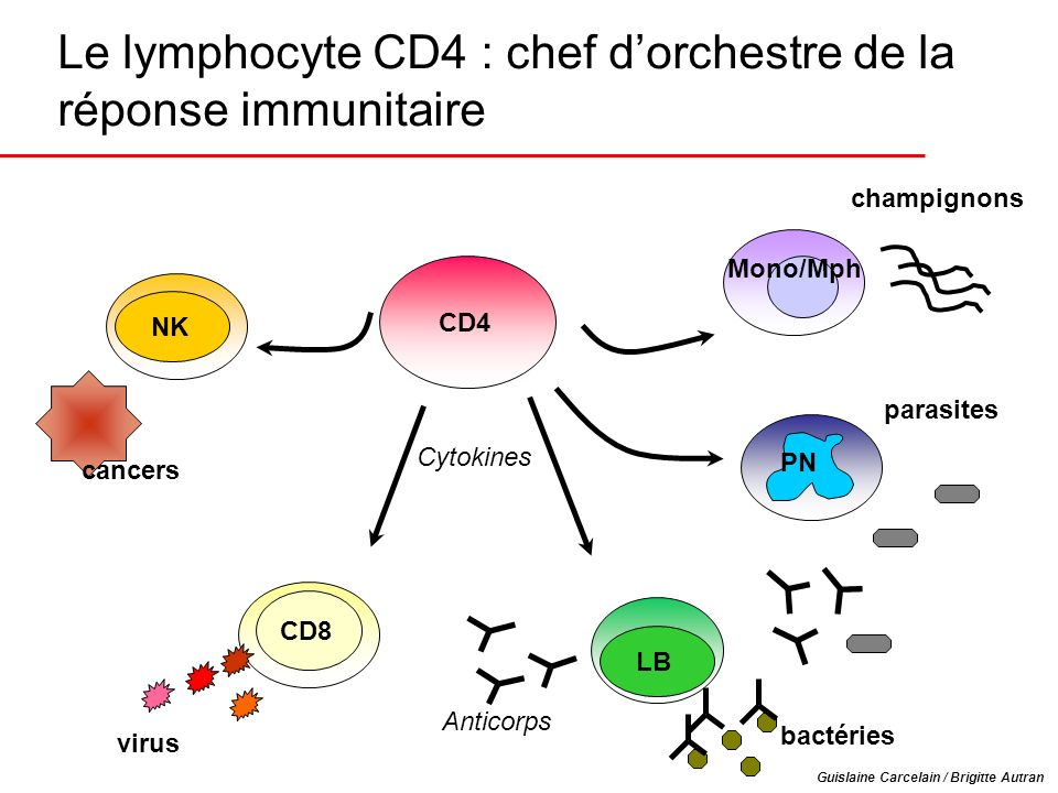 Le lymphocyte CD4 : chef d'orchestre de la réponse immunitaire