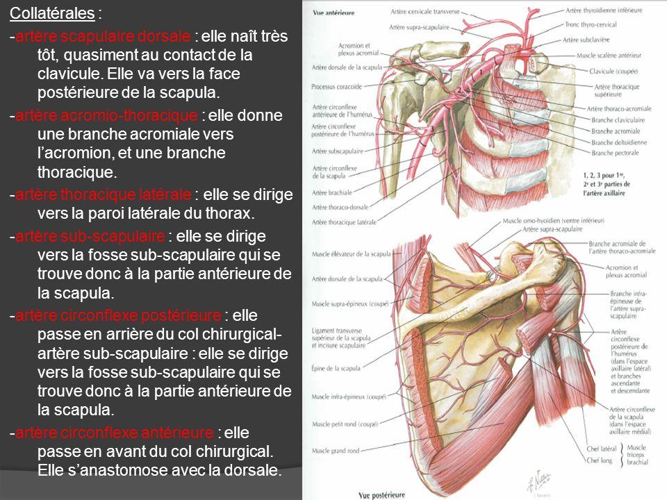 Collatérales : -artère scapulaire dorsale : elle naît très tôt, quasiment au contact de la clavicule. Elle va vers la face postérieure de la scapula.