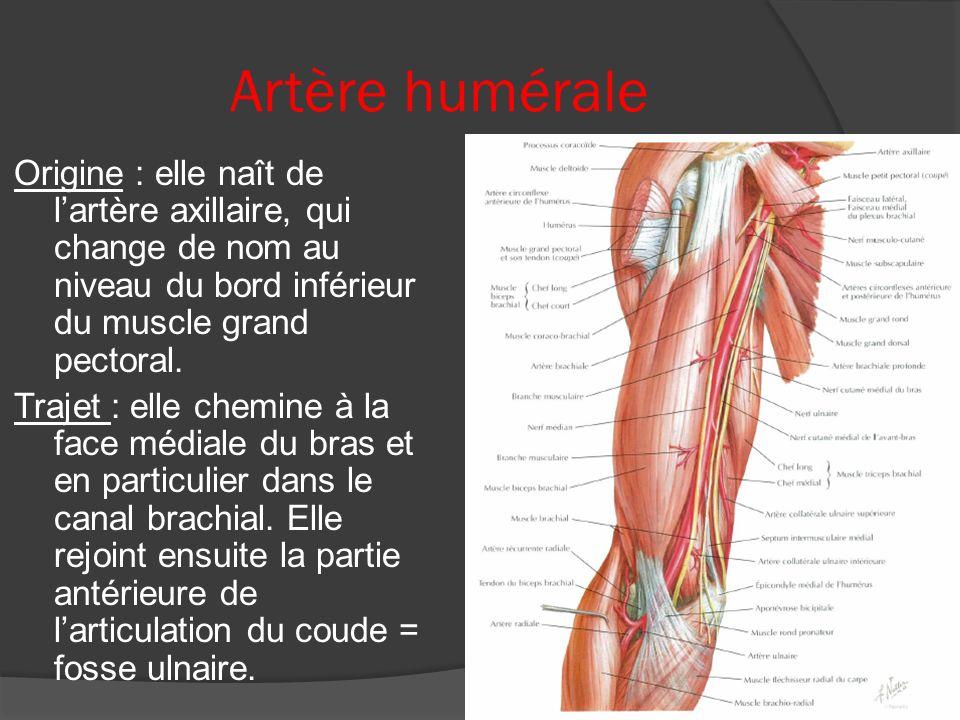Artère humérale
