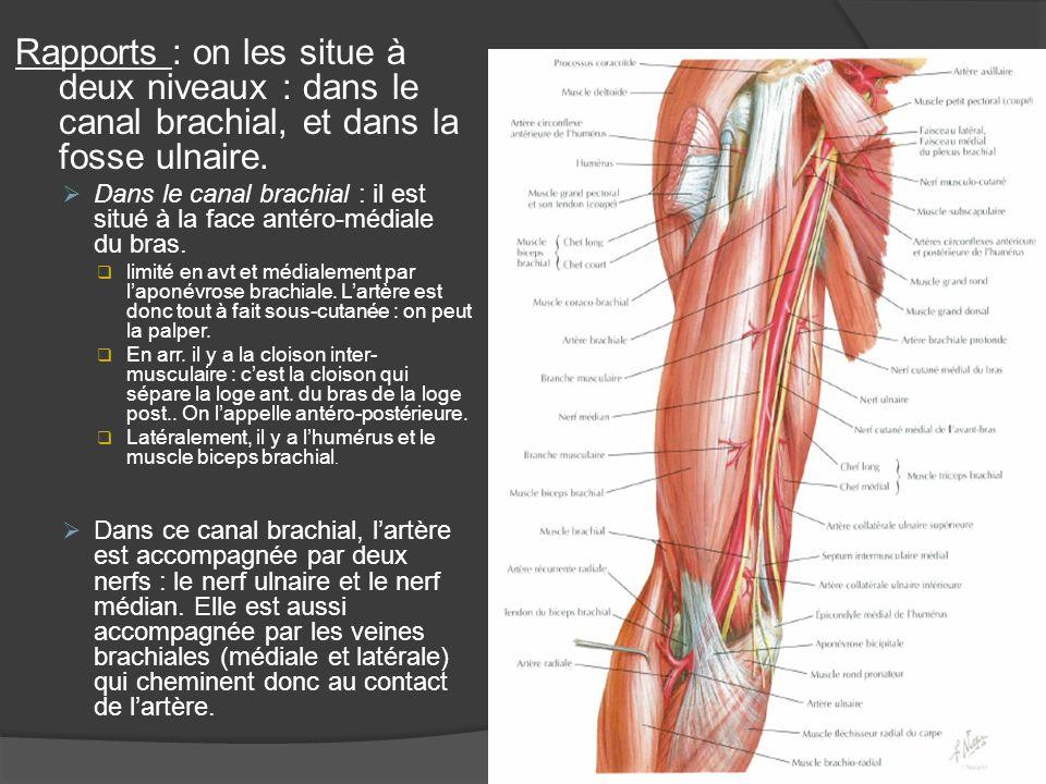 Rapports : on les situe à deux niveaux : dans le canal brachial, et dans la fosse ulnaire.