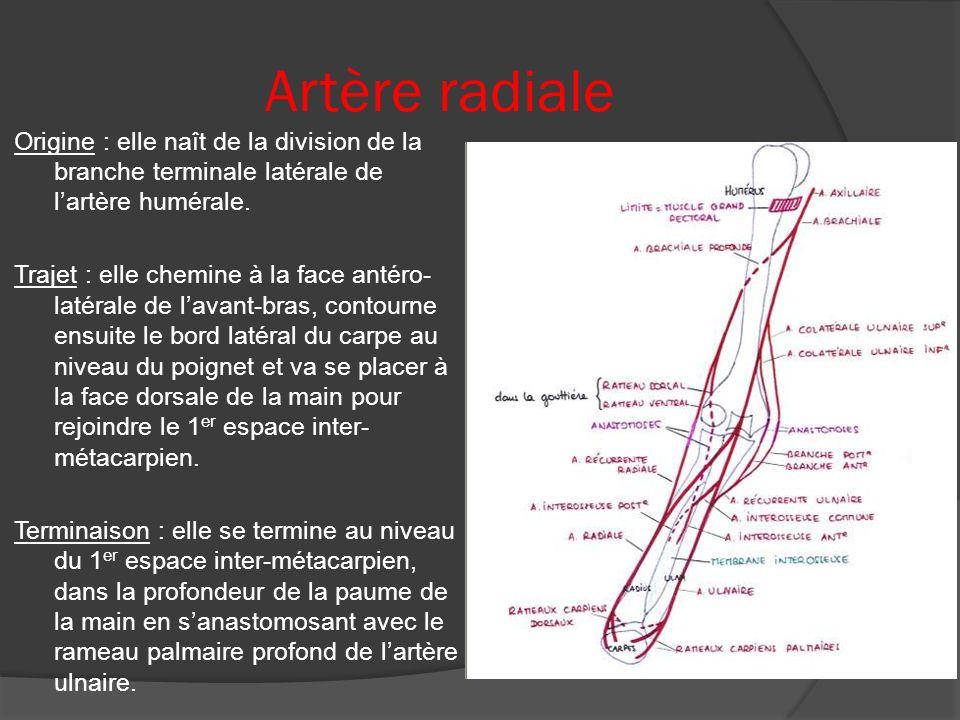 Artère radiale
