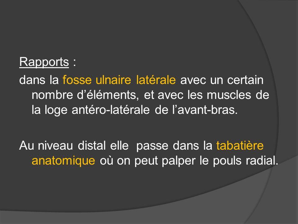 Rapports : dans la fosse ulnaire latérale avec un certain nombre d'éléments, et avec les muscles de la loge antéro-latérale de l'avant-bras.