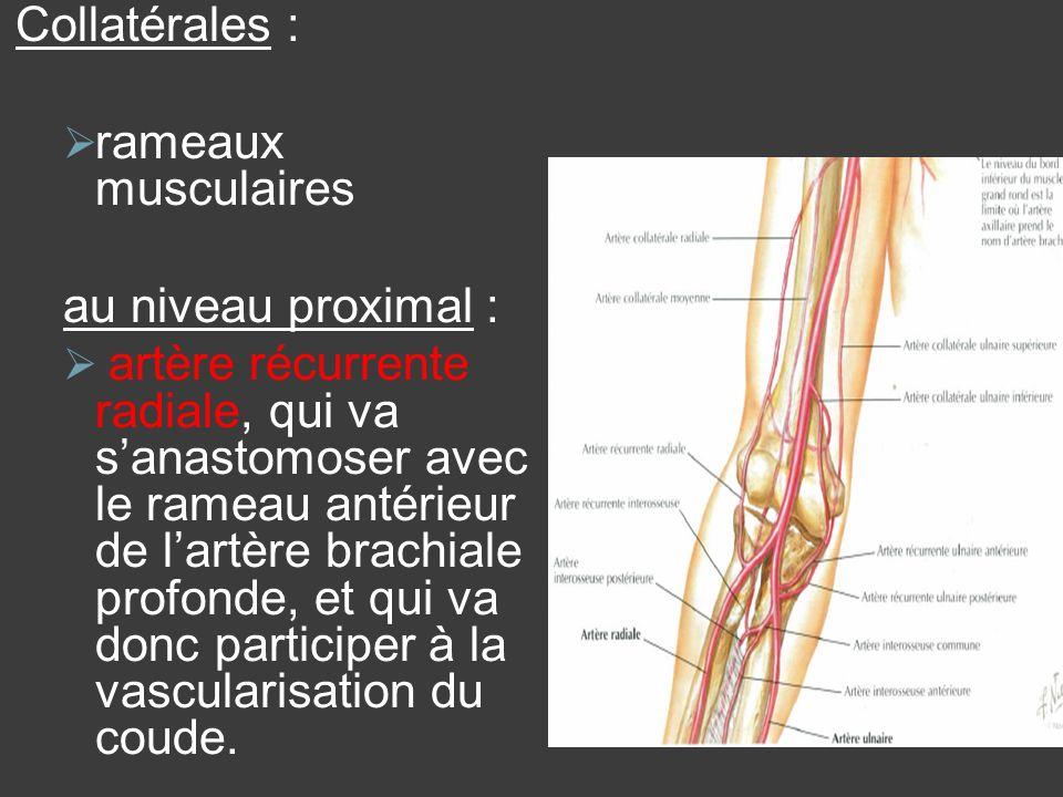 Collatérales : rameaux musculaires. au niveau proximal :
